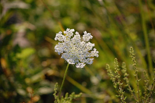 Photograph - Queen Anne's Lace II by Mary McAvoy