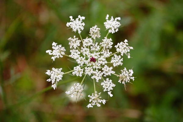 Photograph - Queen Anne's Lace by Mary McAvoy