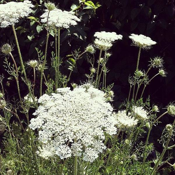 Queens Wall Art - Photograph - Queen Anne's Lace by Michelle Calkins
