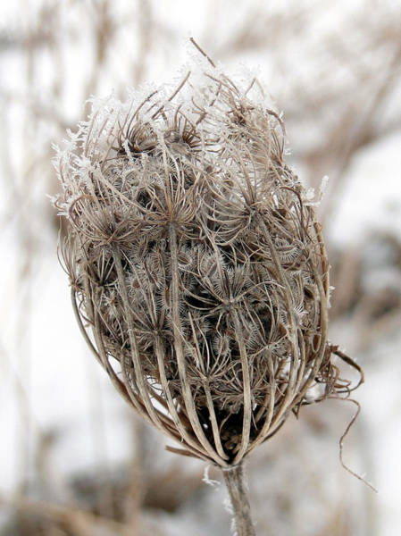 Mixed Media - Queen Anne's Lace Seed Pods by Bruce Ritchie