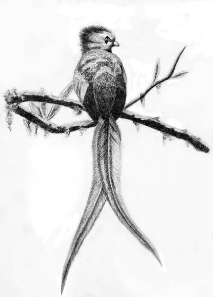 Coolidge Drawing - Quetzal by Sara Coolidge