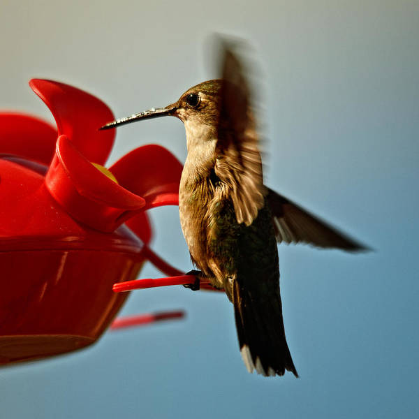 Hummingbird Wings Photograph - Quick Stop by Susan Capuano