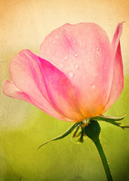 Breast Cancer Awareness Wall Art - Photograph - Quigley's Rose by Vicki Jauron