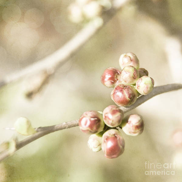 Photograph - Quince Buds Close-up by Agnieszka Kubica