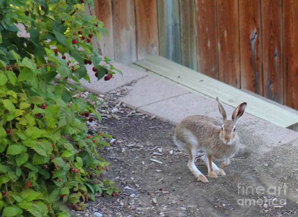 Photograph - Rabbit And Raspberries by Donna L Munro