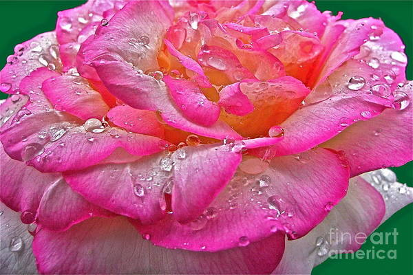 Photograph - Rain Drenched Rose by Byron Varvarigos