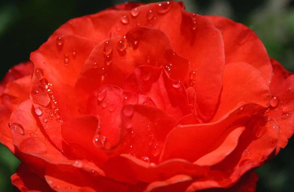 Photograph - Rain Drop Rose by Tony and Kristi Middleton