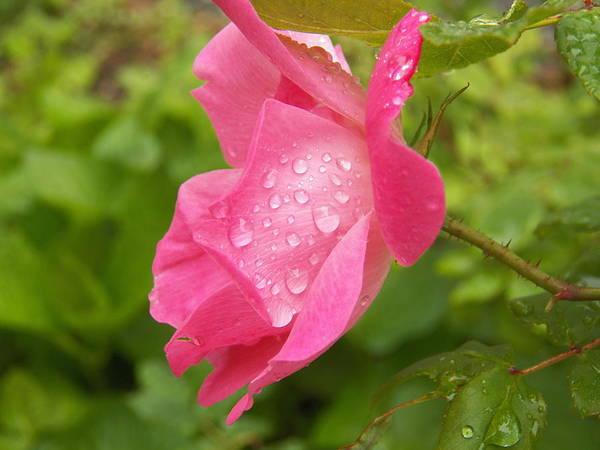 Wall Art - Photograph - Rain Drops Pretty In Pink by Gloria Warren