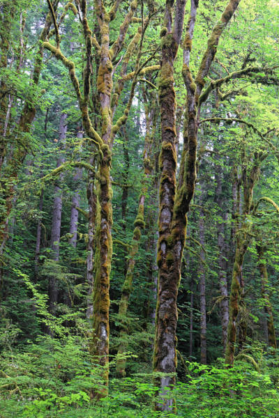 Photograph - Rain Forest Of Olympic National Park by Pierre Leclerc Photography