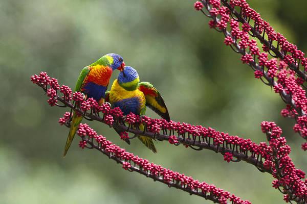 Atherton Tablelands Photograph - Rainbow Lorikeet Feeding Fledgling by Konrad Wothe