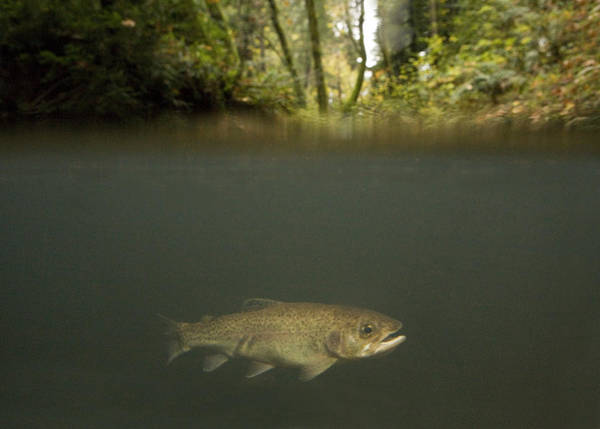 Photograph - Rainbow Trout In Creek In Mixed Coast by Sebastian Kennerknecht