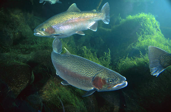 Wall Art - Photograph - Rainbow Trout Pair by Michael Durham