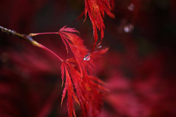 Photograph - Raindrop On Japanese Maple by Sarah Broadmeadow-Thomas