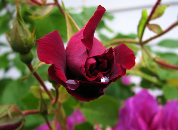 Raindrop Rose Art Print