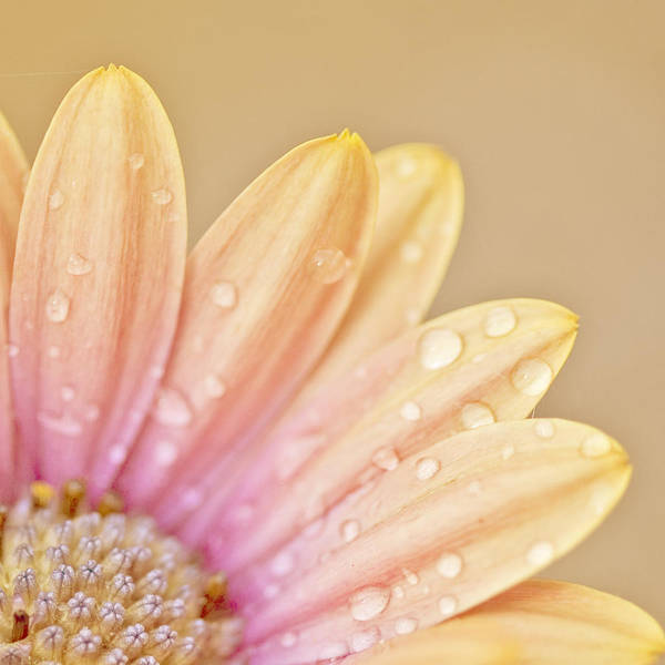 Peachy Wall Art - Photograph - Raindropped Daisy by Bonnie Bruno