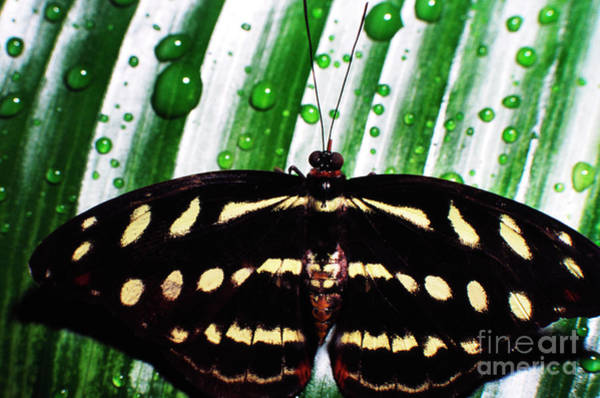 Photograph - Raindrops And Butterfly by Thomas R Fletcher