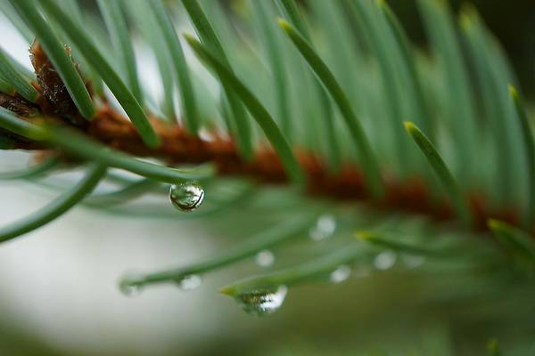 Photograph - Raindrops And Fir Needles by Beth Akerman
