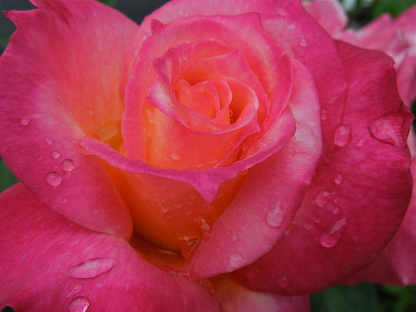 Photograph - Raindrops On Roses Ten by Diana Hatcher