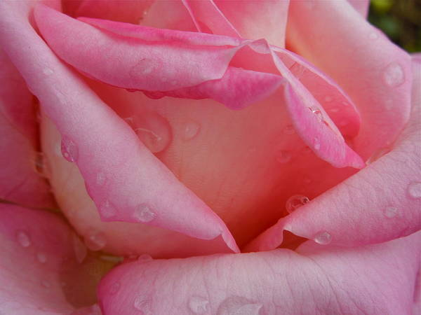 Photograph - Raindrops On Roses Two by Diana Hatcher