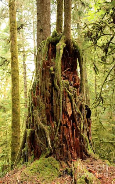 Photograph - Rainforest Rejuvenation by Carol Groenen