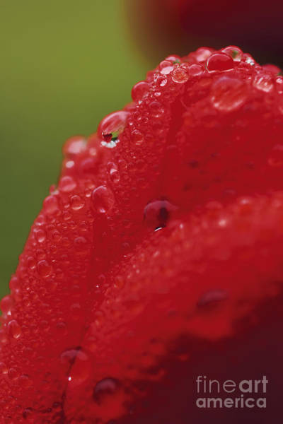 Wall Art - Photograph - Rainy Tulip by Wedigo Ferchland