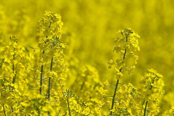 Wall Art - Photograph - Rapeseed Blossoms by Melanie Viola