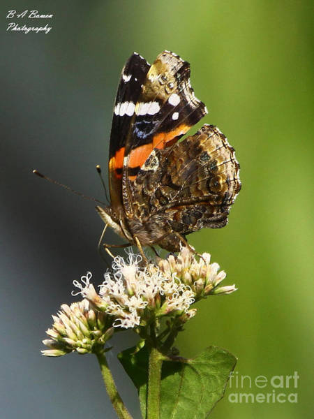 Photograph - Red Admiral Butterfly by Barbara Bowen