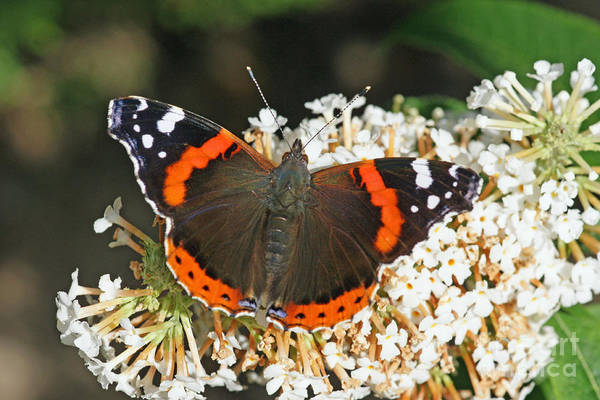 Photograph - Red Admiral by David Birchall