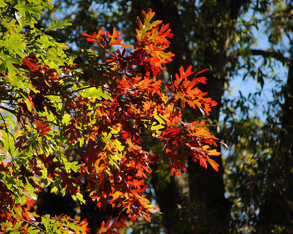 Photograph - Red And Green Autumn Leaves I by Jai Johnson