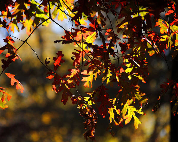 Photograph - Red And Green Autumn Leaves II by Jai Johnson