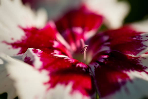 Photograph - Red And White Dianthus by  Onyonet  Photo Studios