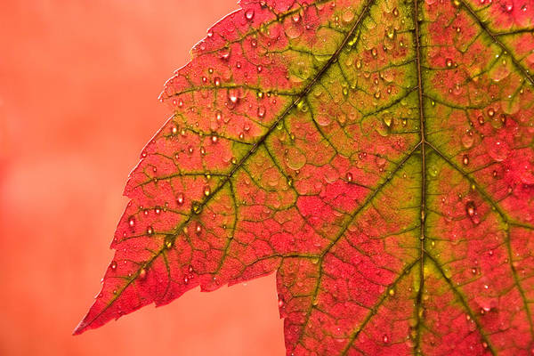 Change Wall Art - Photograph - Red Autumn by Carol Leigh