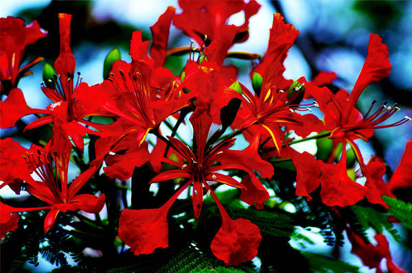 Photograph - Red Beauty by Bill Cannon