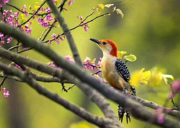 Red Bellied Woodpecker Photograph - Red Bellied In Tree by Bill Tiepelman