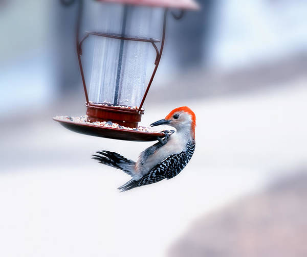 Red Bellied Woodpecker Photograph - Red-bellied On Feeder by Bill Tiepelman