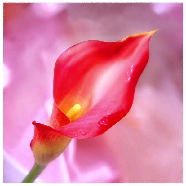 Calla Lilies Photograph - Red Calla Lily by Mike McGlothlen