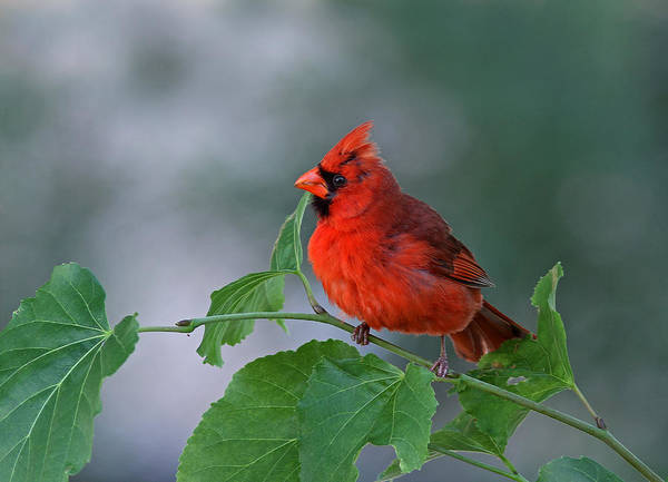 Photograph - Red Cardinal by Juergen Roth