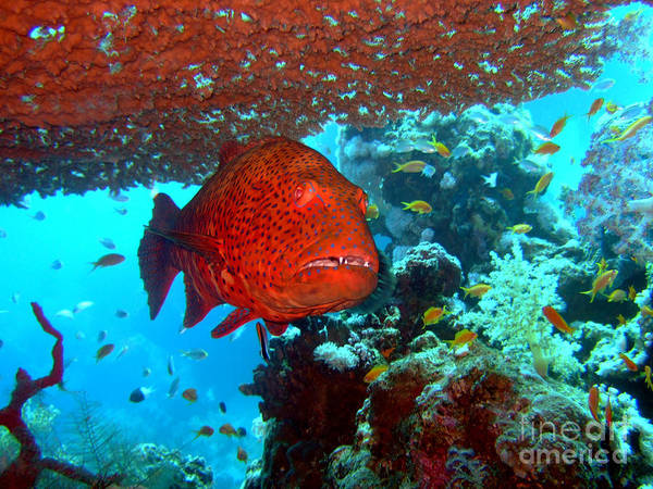 Wall Art - Photograph - Red Close-up Grouper by MotHaiBaPhoto Prints