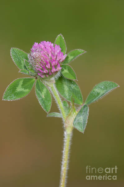 Photograph - Red Clover by Clarence Holmes