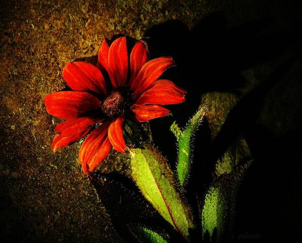 Biennial Photograph - Red Coneflower by Chris Berry
