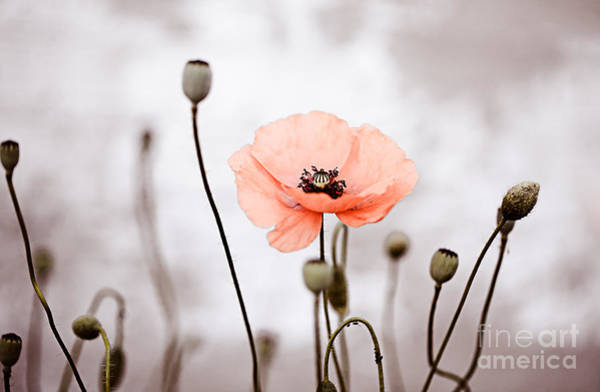 Field Photograph - Red Corn Poppy Flowers 01 by Nailia Schwarz