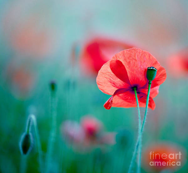Red Green Photograph - Red Corn Poppy Flowers 04 by Nailia Schwarz