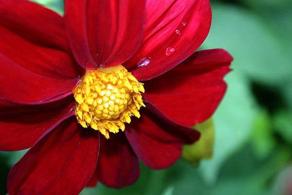 Photograph - Red Dahlia by Emanuel Tanjala