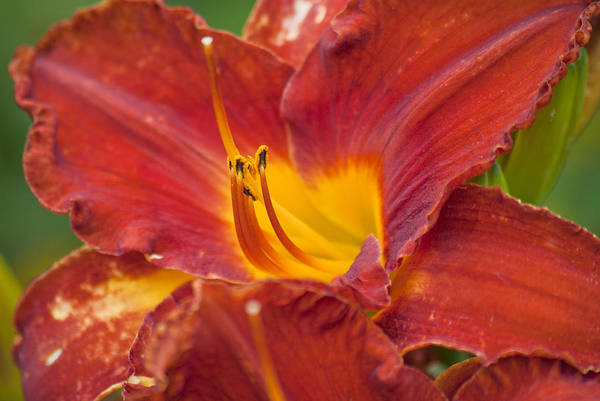Photograph - Red Day Lily by Jason Pryor