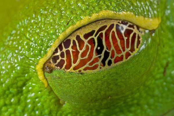 Photograph - Red Eyed Tree Frog Eyelid Costa Rica by Piotr Naskrecki