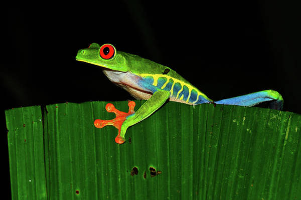 Photograph - Red Eyed Tree Frog by Harry Spitz