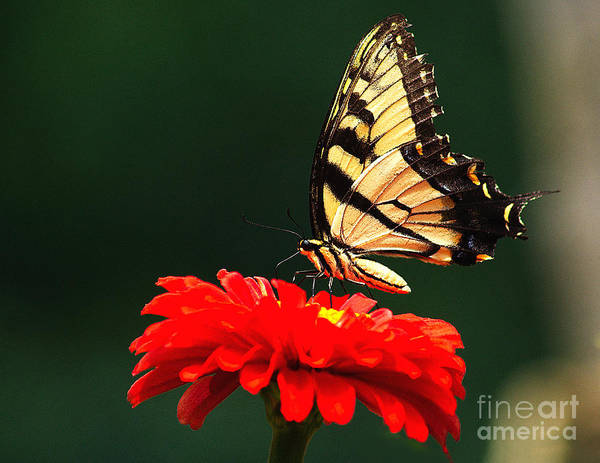 Photograph - Red Flower And Butterfly by Nick Zelinsky