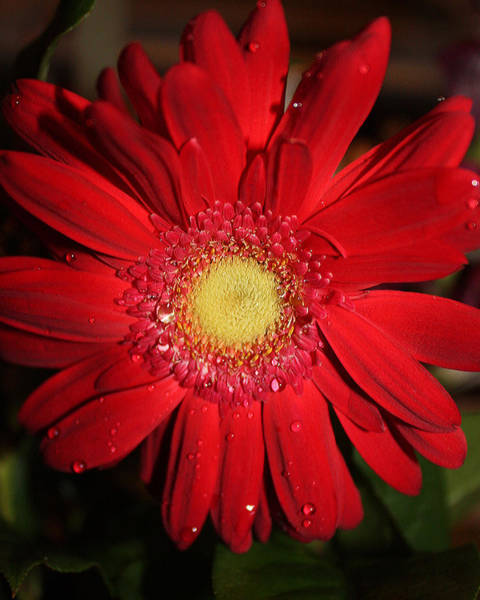 Photograph - Red Flower by Sheila Kay McIntyre