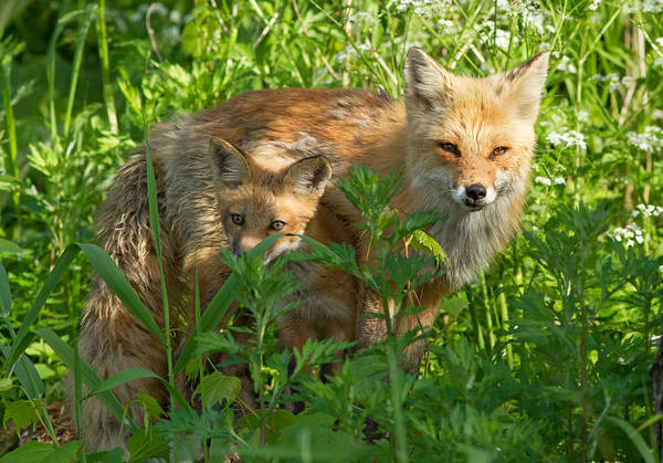 Wall Art - Photograph - Red Fox Family by Mircea Costina Photography