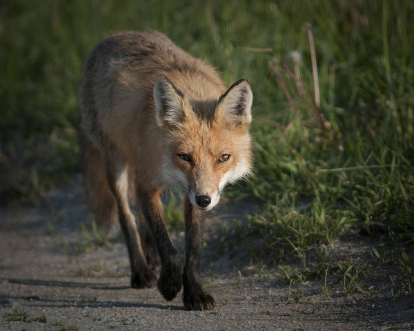 Photograph - Red Fox Walking by Craig Leaper